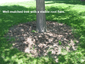 Image of well-mulched tree