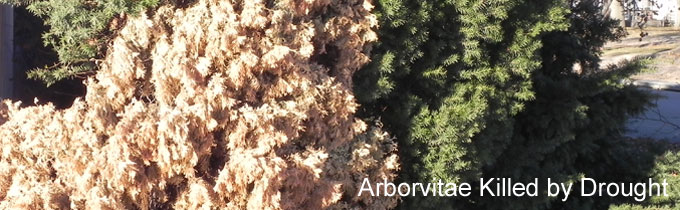 Photo of arborvitae killed by drought