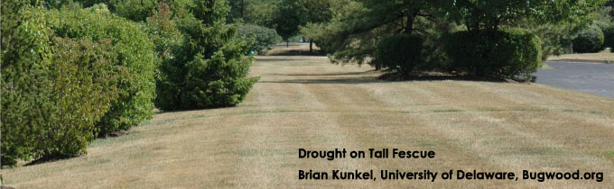 Photo of drought damage on tall fescue